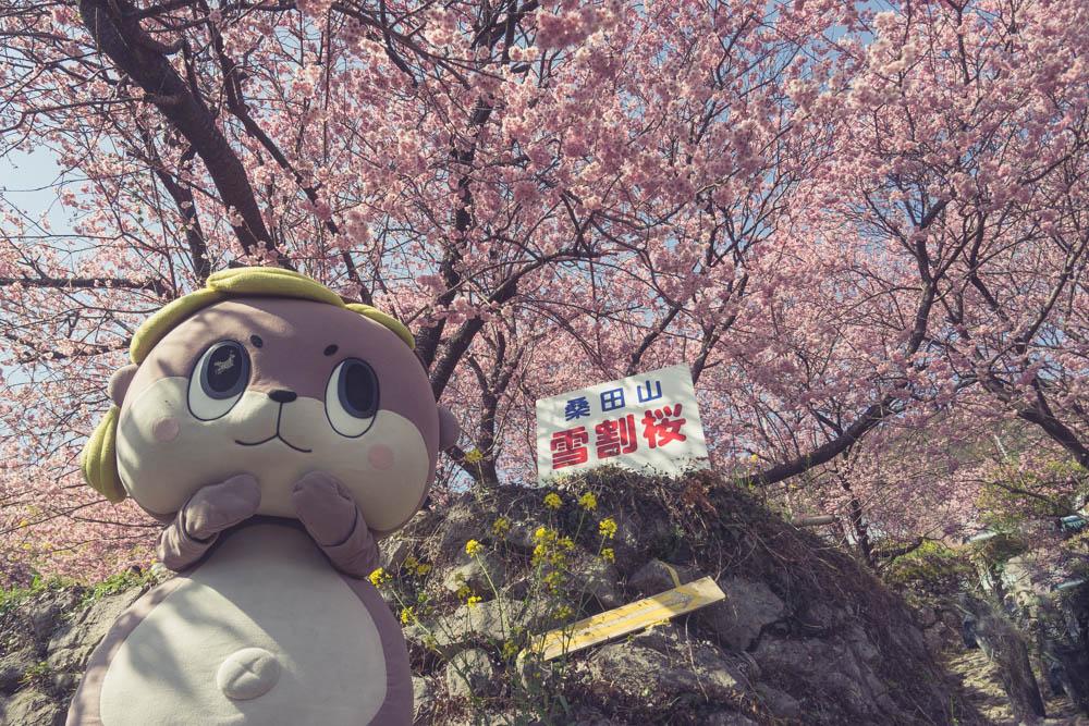 桑田山雪割桜